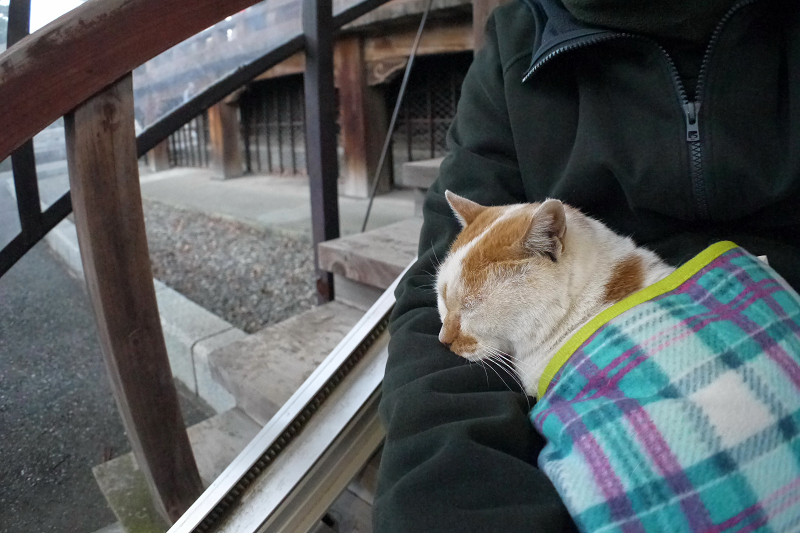 膝の上でフリースに包まって寝てる白茶猫2