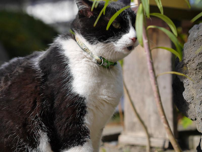 境内植え込み黒白猫1