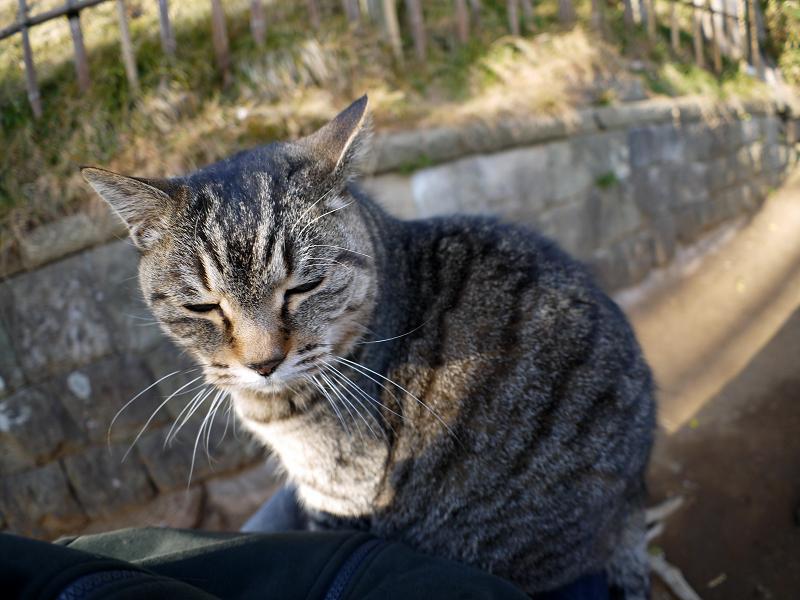 膝の上で少しずつ目が覚めるキジトラ猫1
