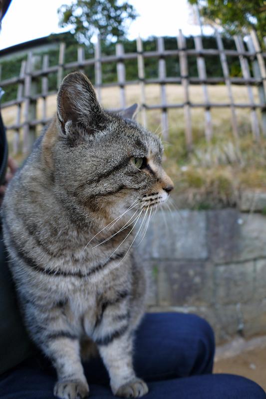 膝の上で少しずつ目が覚めるキジトラ猫2