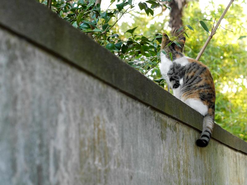 塀の上の三毛猫の後ろ姿1