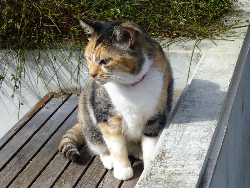 日当たりベンチの三毛猫1
