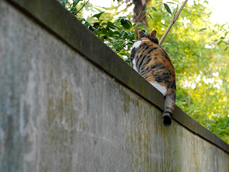 塀の上の三毛猫の後ろ姿2