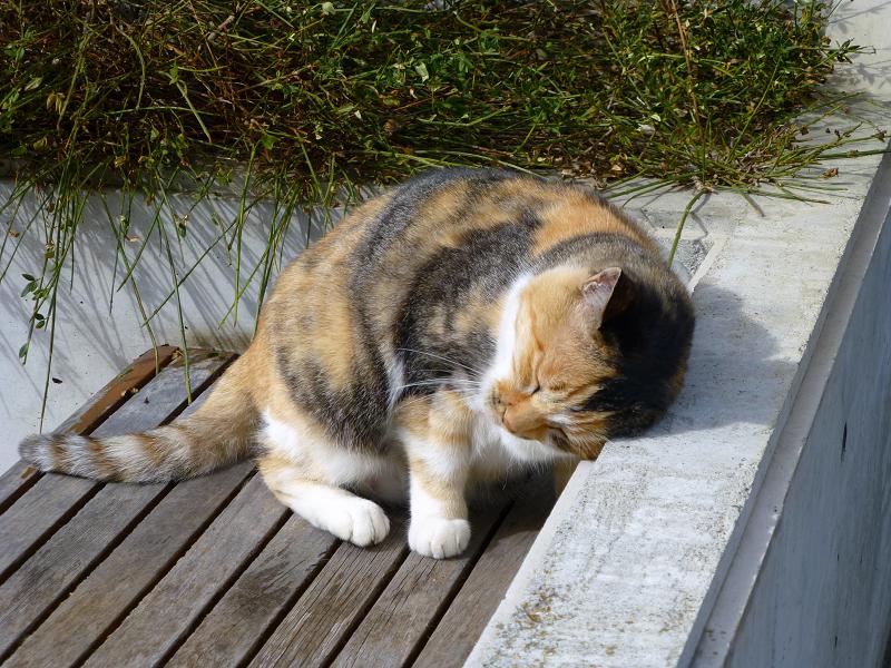 日当たりベンチの三毛猫2