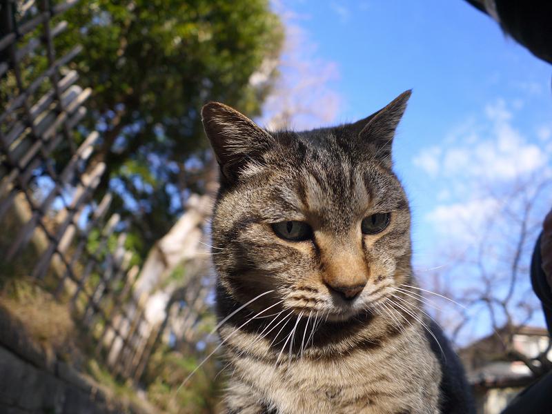 膝の上で少しずつ目が覚めるキジトラ猫3