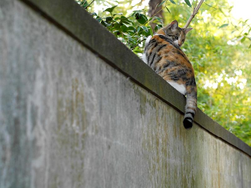 塀の上の三毛猫の後ろ姿3