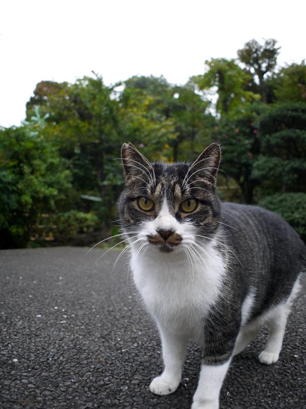 カメラを睨むキジ白猫1