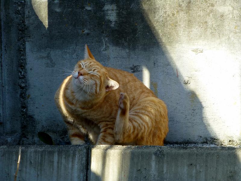 カキカキとクルクルの茶トラ猫1