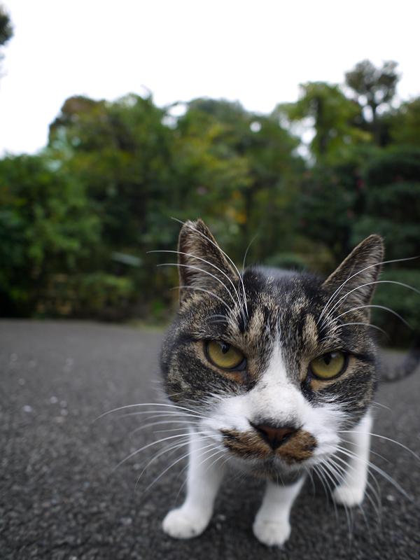 カメラを睨むキジ白猫2