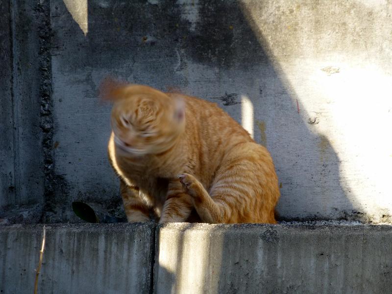 カキカキとクルクルの茶トラ猫2