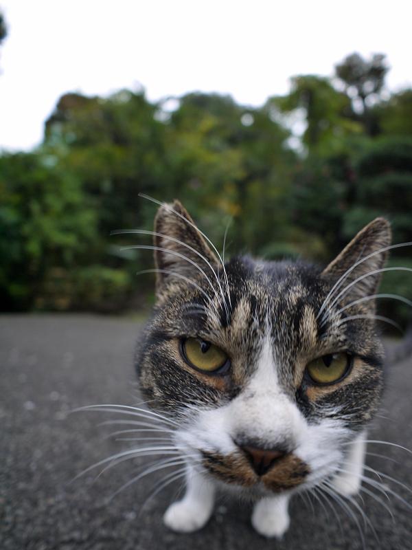 カメラを睨むキジ白猫3