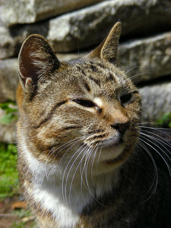 石積みとキジ白猫1
