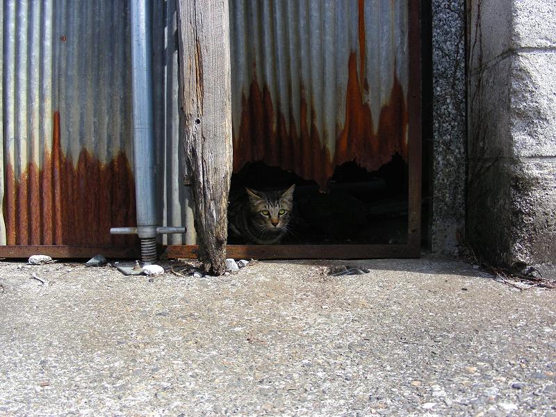 トタン板の隙間からキジトラ猫1