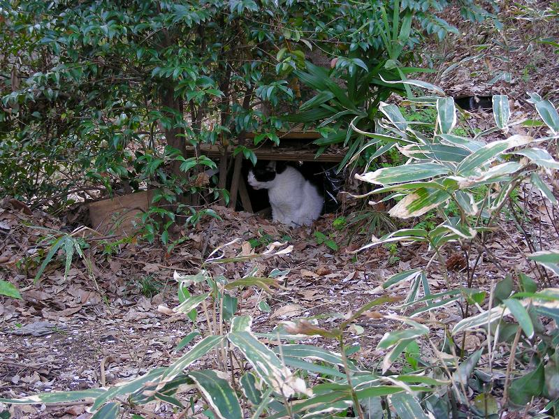積み重なった枯れ葉の中の白黒猫1