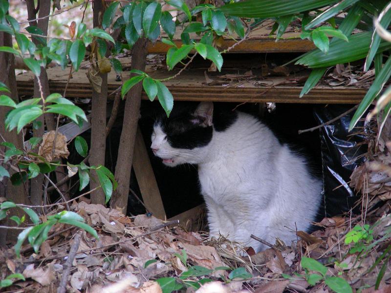 積み重なった枯れ葉の中の白黒猫2