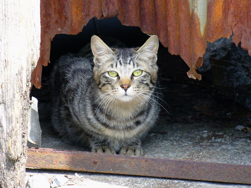 トタン板の隙間からキジトラ猫2
