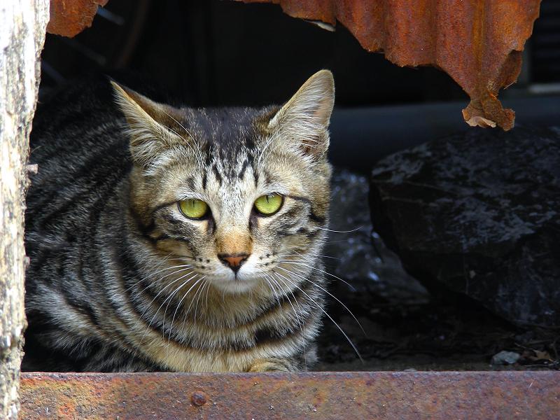 トタン板の隙間からキジトラ猫3