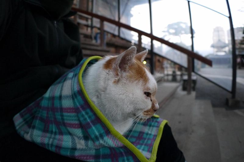 膝で寛ぐ茶白猫1