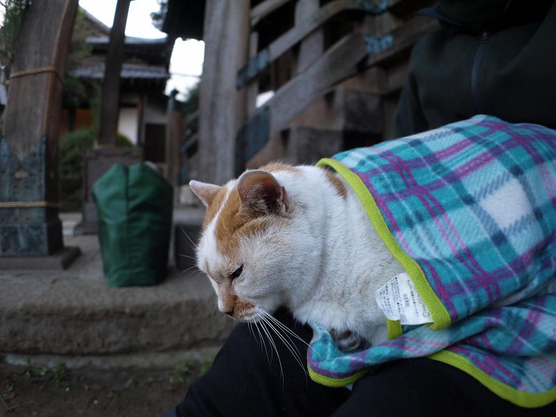 別の場所でも膝に乗る白茶猫1
