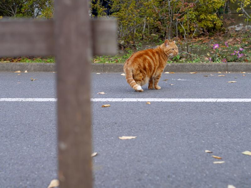 歩き行くアメショー風猫1