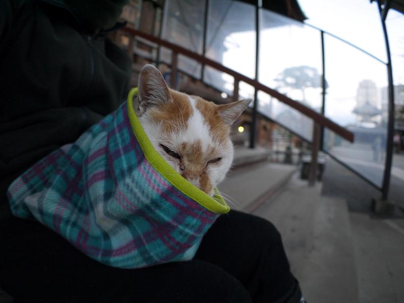 膝で寛ぐ茶白猫2