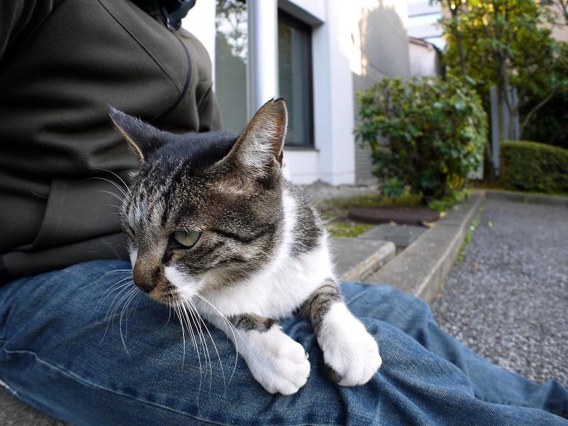 膝に乗って睨んですキジ白猫3