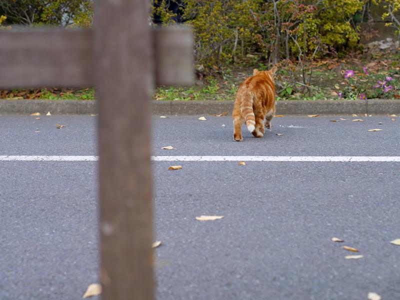歩き行くアメショー風猫3
