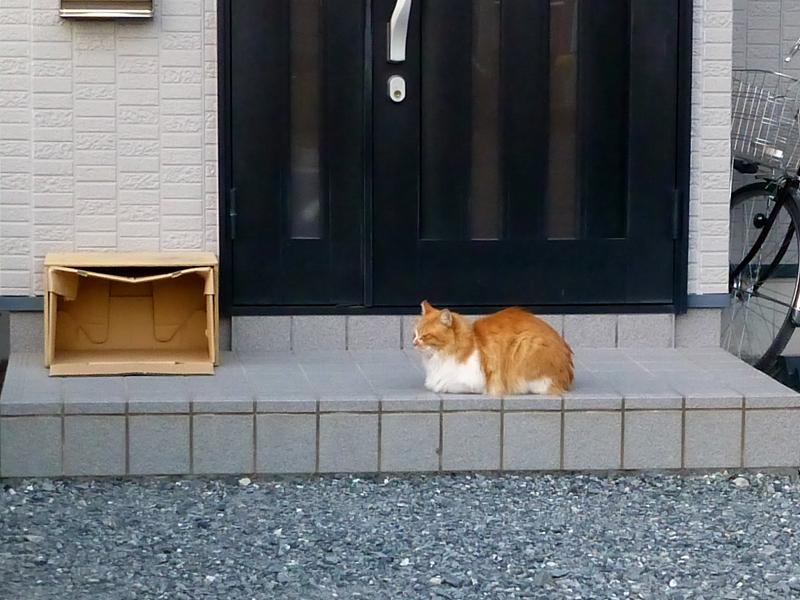 民家玄関前の茶白猫1