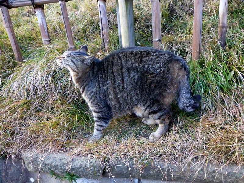草の土手に乗ったキジトラ猫2