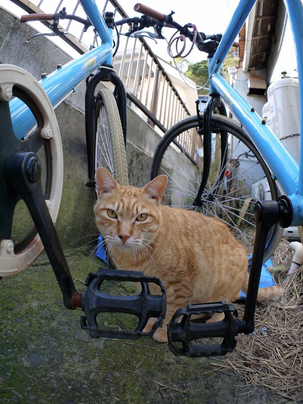 自転車の間の茶トラ猫