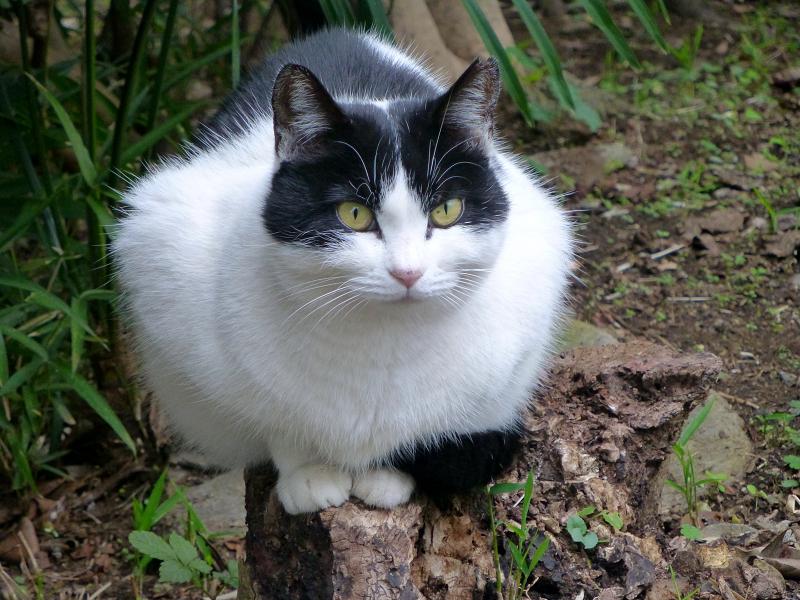 固まり気味の白黒猫