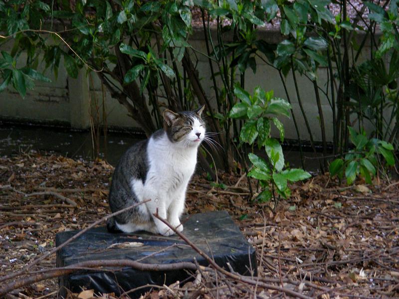 黒いハウスに乗ったキジ白猫1