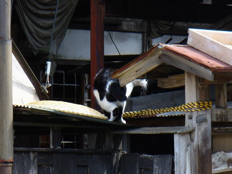 小屋根の黒白猫1