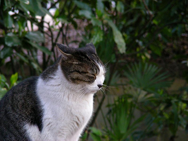 黒いハウスに乗ったキジ白猫2