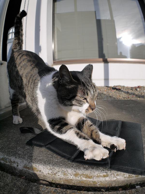 シートで爪を研ぐキジ白猫1