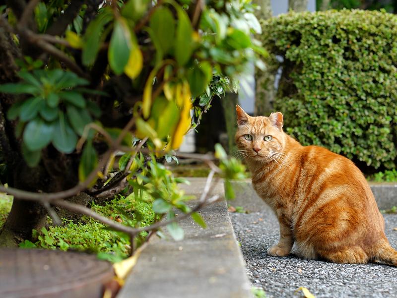ジーっと見てるブラウンタビー風の猫1
