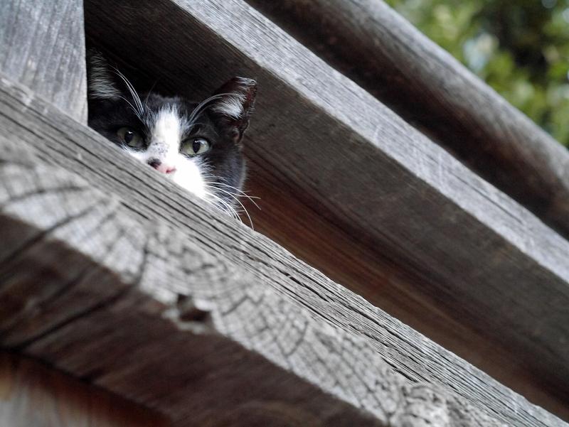 欄干架木の間の黒白猫