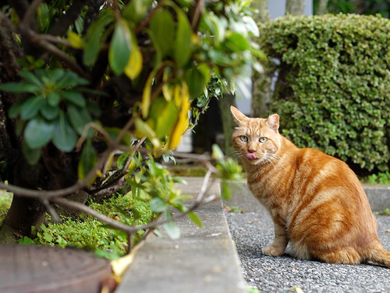 ジーっと見てるブラウンタビー風の猫3