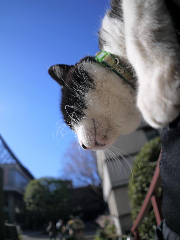 膝で垂れまくる黒白猫1