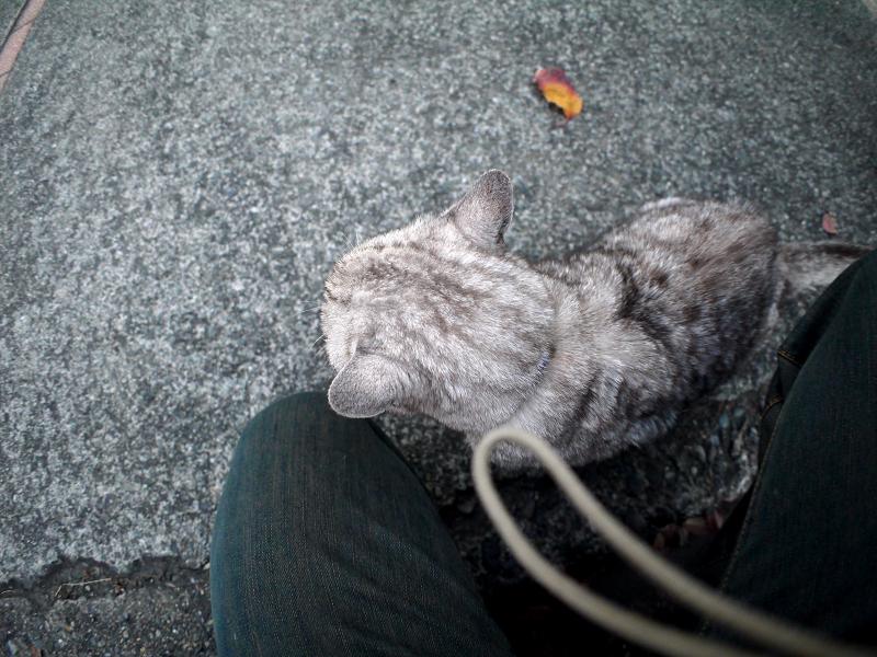 分かり合ったシルバーの猫1
