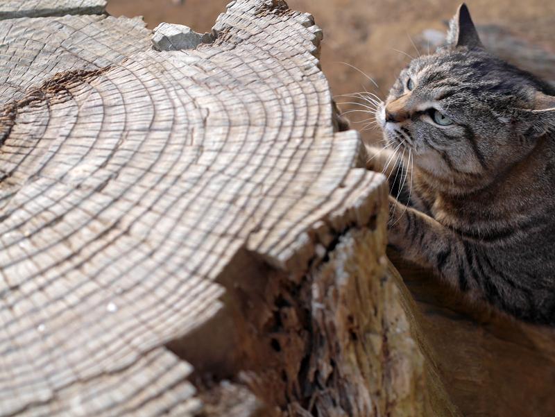 切り株とキジトラ猫