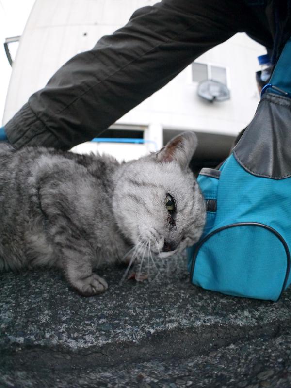 分かり合ったシルバーの猫3