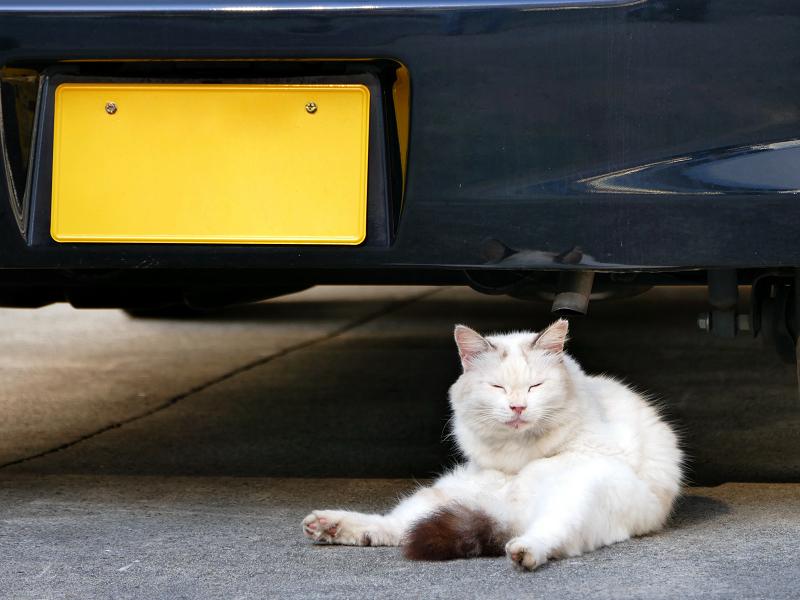 車の横へ移動した毛長の白猫1