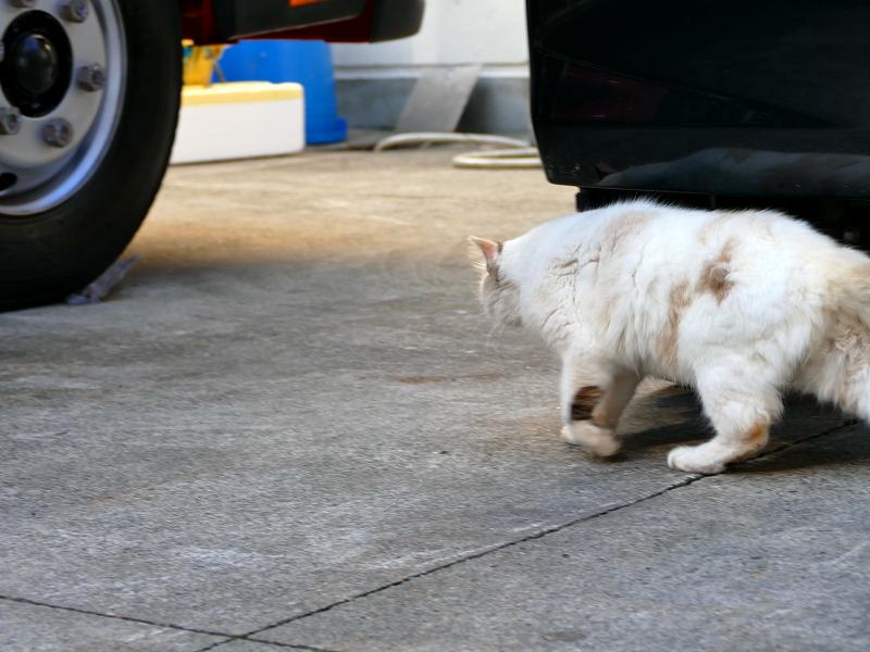 車の横へ移動した毛長の白猫2