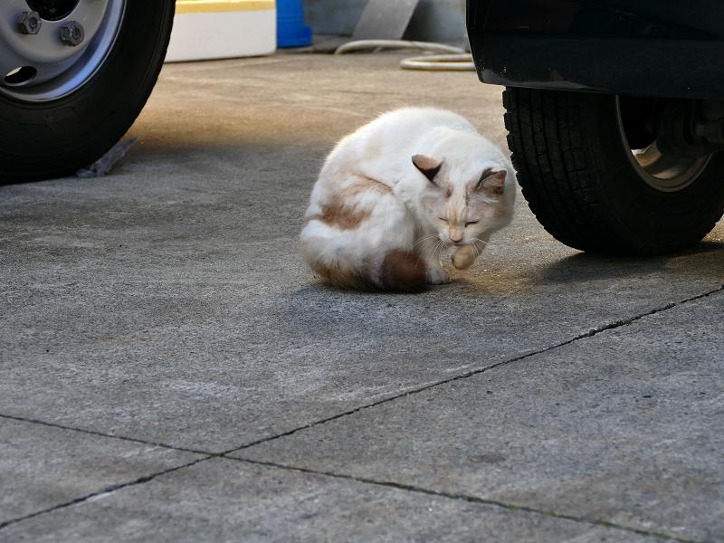 車の横へ移動した毛長の白猫3