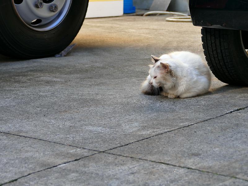 車の横へ移動した毛長の白猫4