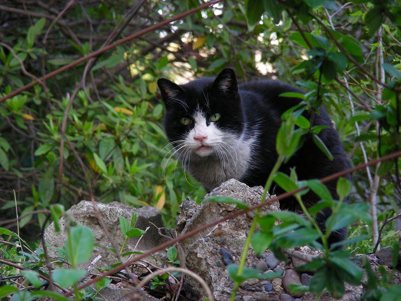 石に乗ってる黒白猫1