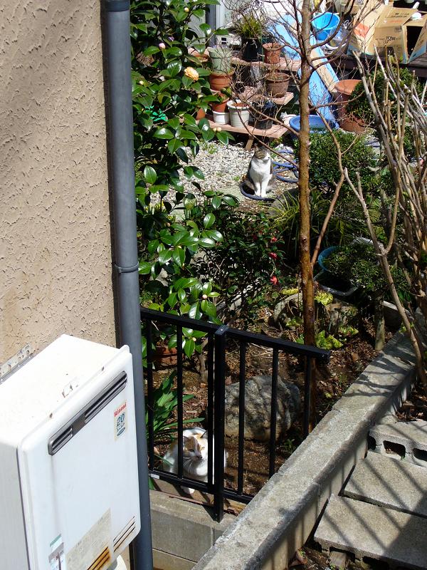 民家の庭の白茶猫1