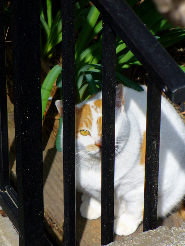 民家の庭の白茶猫2