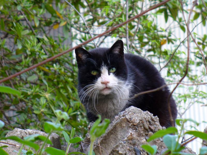 石に乗ってる黒白猫2